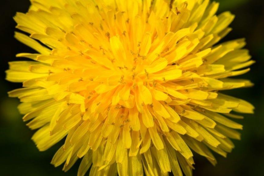 Dandelion as Baking Ingredient