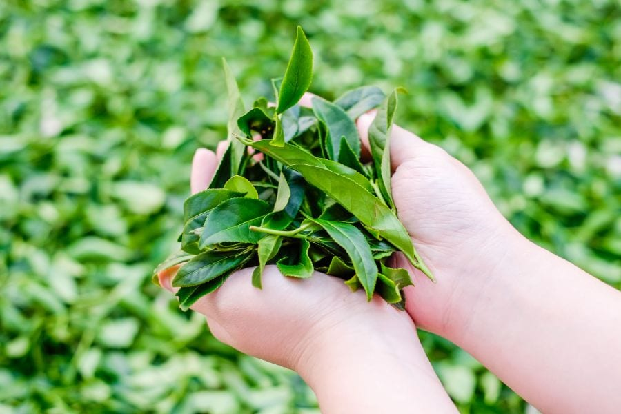 How to Grind Tea Leaves at Home